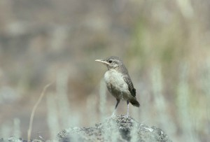 rock, wren, bird, salpinctes obsoletus, standing, rock, sparse, vegetation