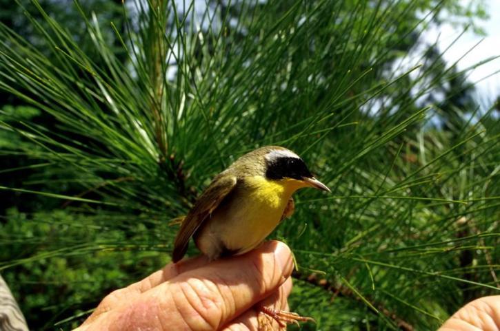 yellowthroat, bird