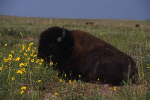 American, bison