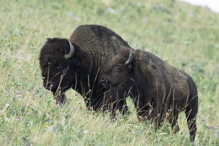 American, bison, bison