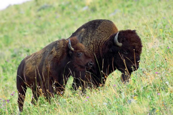 Americano, bisonte, hembra