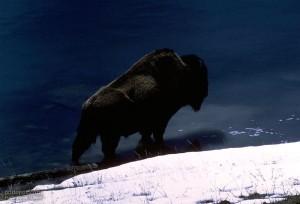American, buffalo