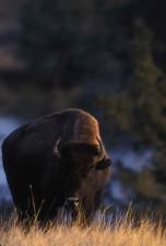 adult, bison, walking, field