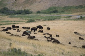anials, bisons, valley