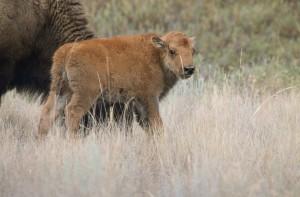 bison, calf