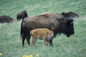 bison, cow, calf