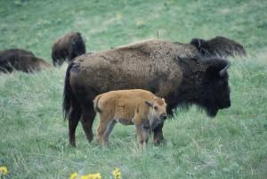 bison, ku, kalv