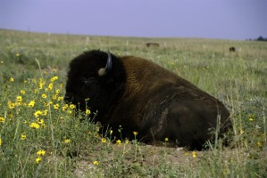 bison, eating, grass, field