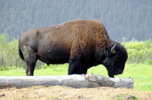 bison, free, photo
