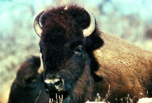 bison, head, horns