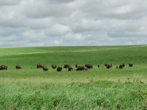 bison, herd, grazing