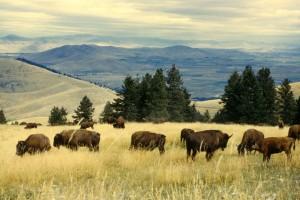 bisonte, manada, pastos, nacional, bisonte, rango