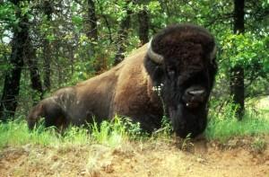 bisonte, di sesso maschile, frontale, laterale