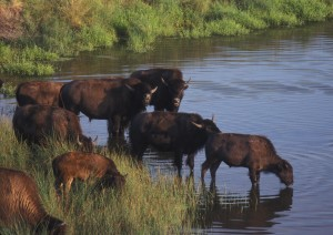 bison, river