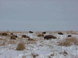 bison, sleeping, snowy, hillside
