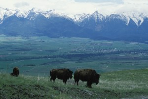 bisons, grazing