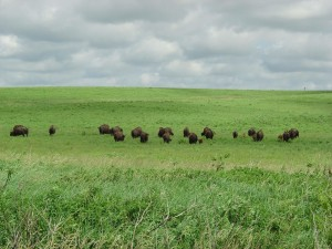 Bisons, Feld