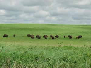 bisons, field