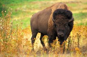 buffalo, American, animal