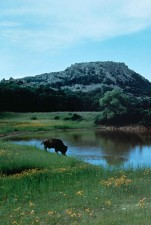 buffalo, drinking, water, lake