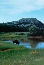 buffalo, drinking, water, lake