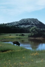 buffalo, wetland