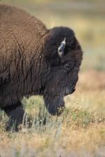 up-close, profile, front, buffalo, bull