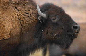details, photo, bison, mammal, head