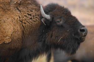 détails, photo, bison, mammifère, tête