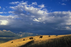 expansive, bison, grazing, mounta