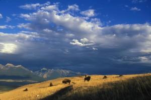 expansiva, bisonte, pasto, mounta