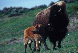 female, bison, calf