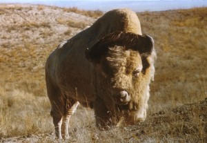 unique, bison, taureau
