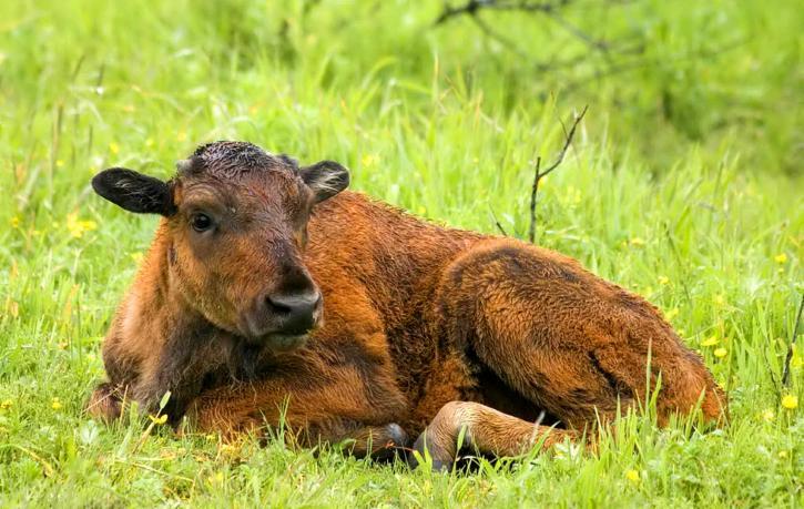 træ, buffalo, bjerg, buffalo, kalv, liggende, græs, bison, bison, athabascae