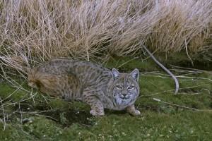 bobcat, chat