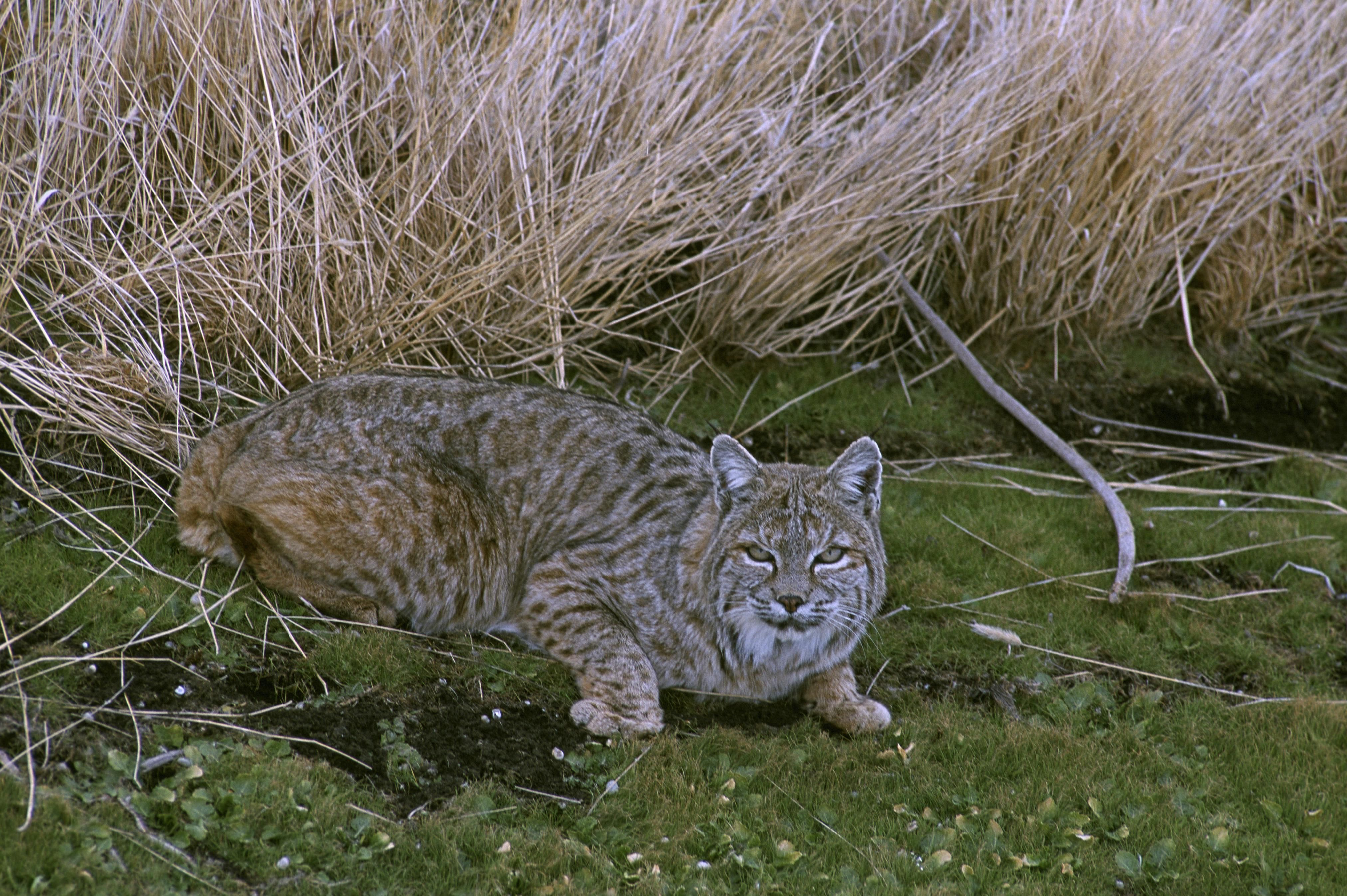Free picture: bobcat, cat