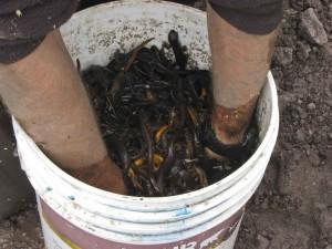 bucket, newts