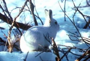 Arctic, hare, snow, bushes, lepus, Arcticus