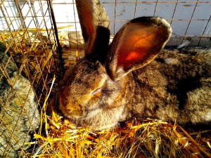 grand, lapin, rongeur, cage