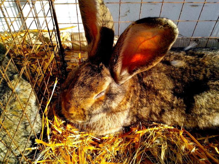 kostenlose bild gro kaninchen nagetier k fig. Black Bedroom Furniture Sets. Home Design Ideas