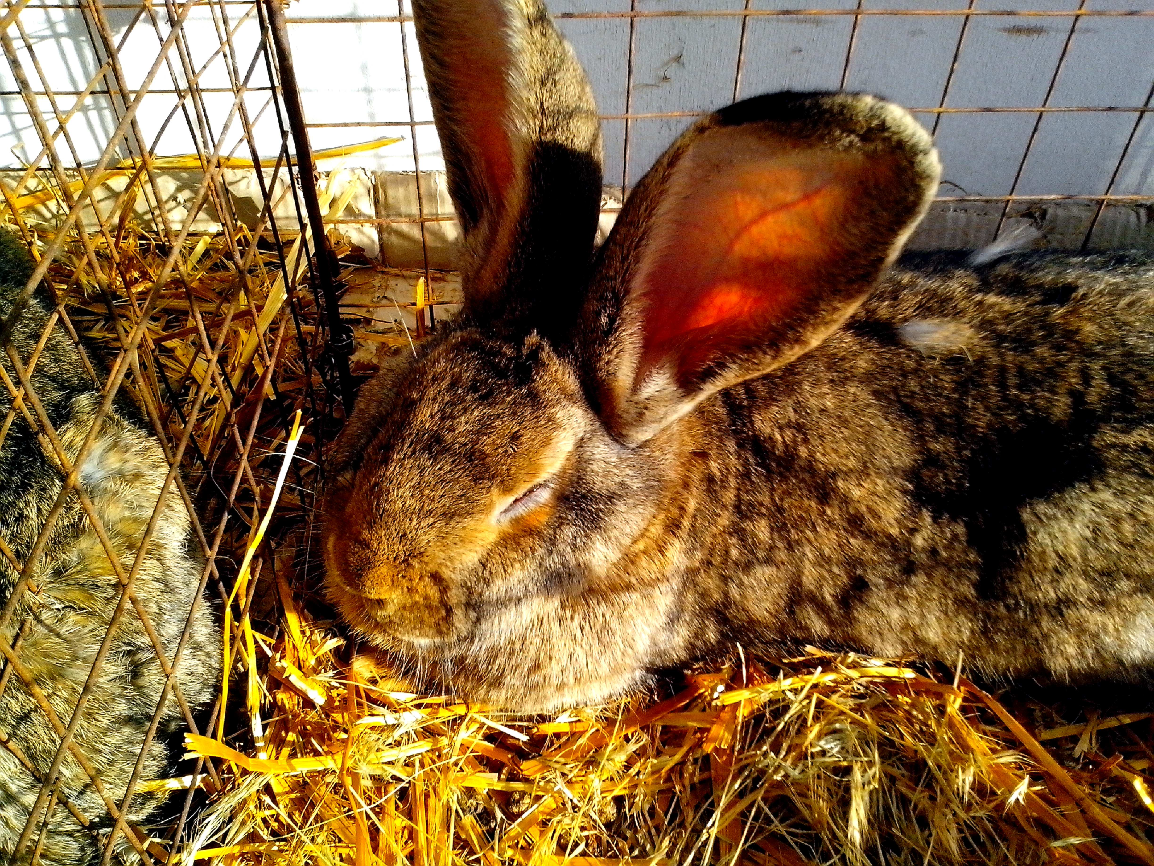 Free photograph; big, rabbit, rodent, cage