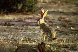 black, tailed, jack, rabbit