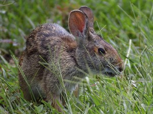 conejito, conejitos, conejos