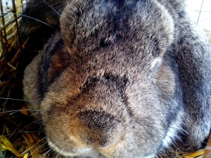 up-close, head, domestic rabbit