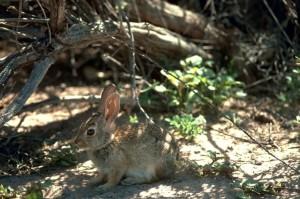 사막, cottontail, 토끼