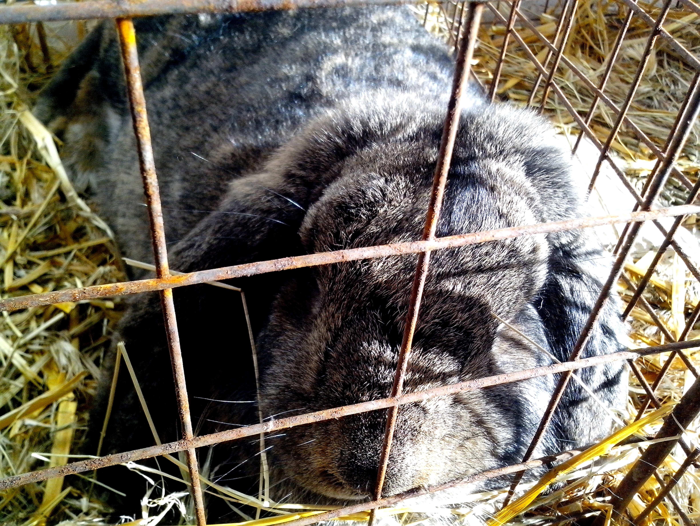 Free photograph; domestic, gray, rabbit, cage