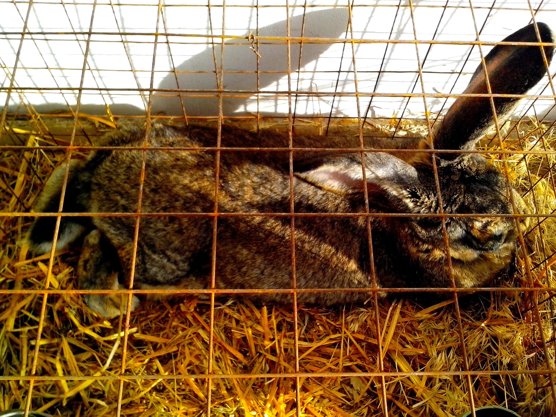 Free photograph; domestic, rabbit, cage, straw