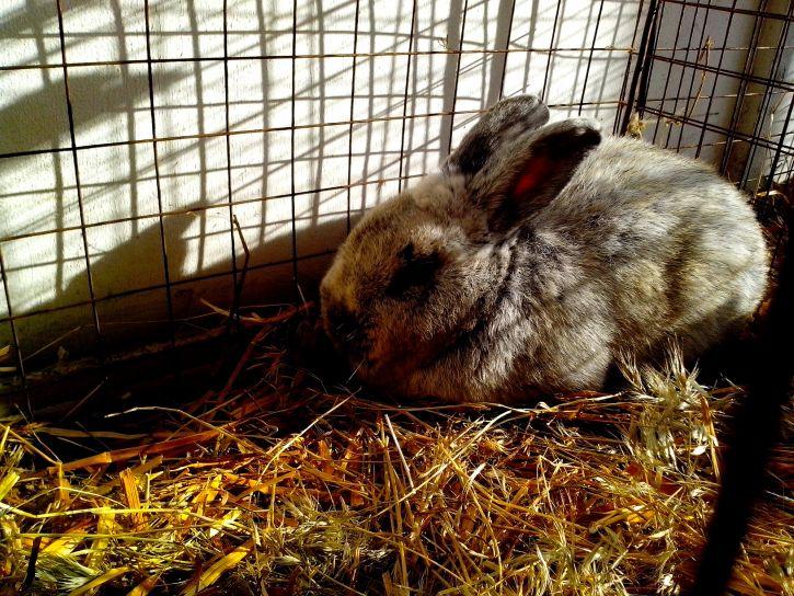domestic, rabbit, straw