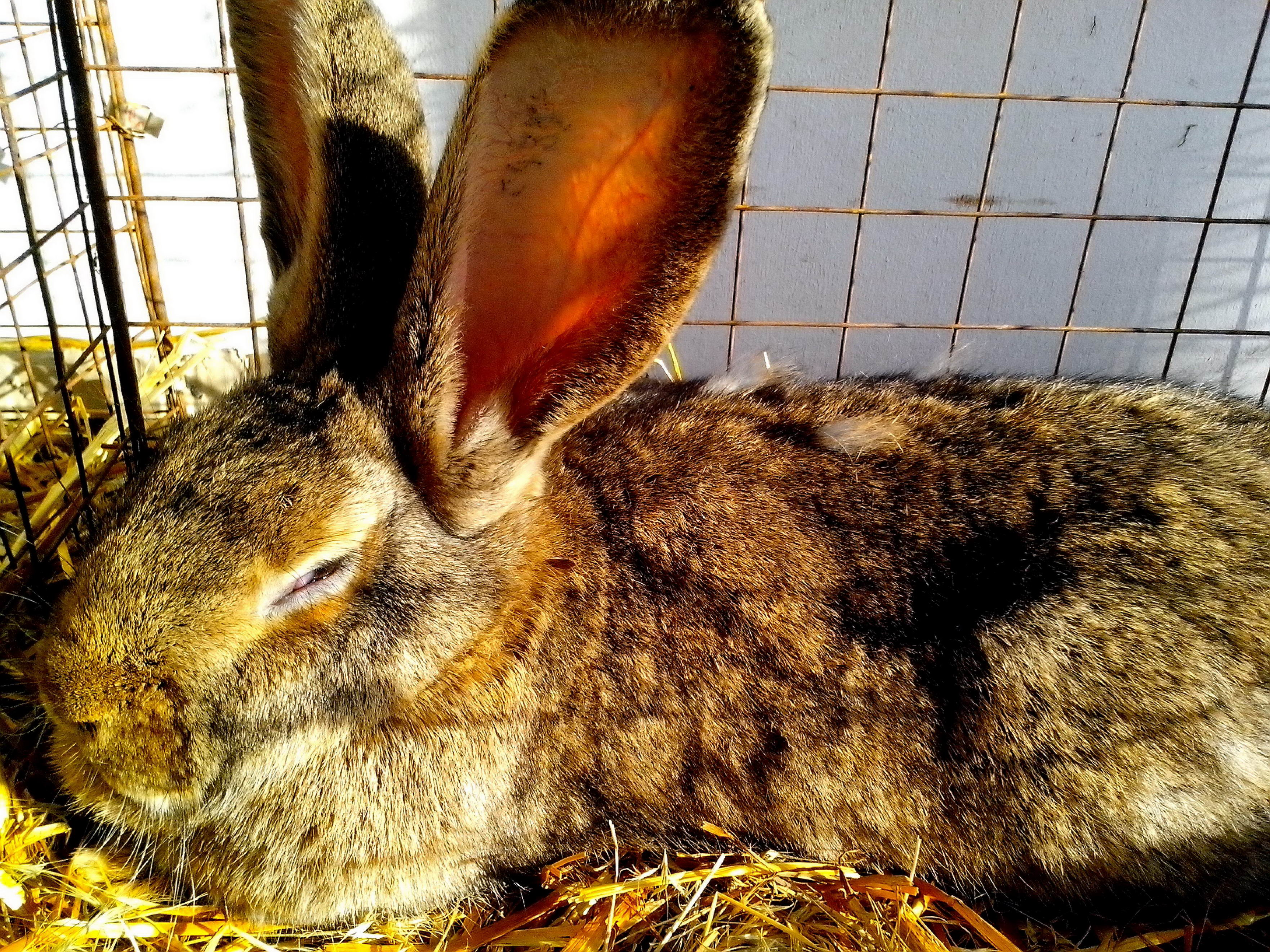 Free photograph; domestic, rabbit, rodent