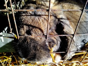 domestic rabbit, sleeps, cage